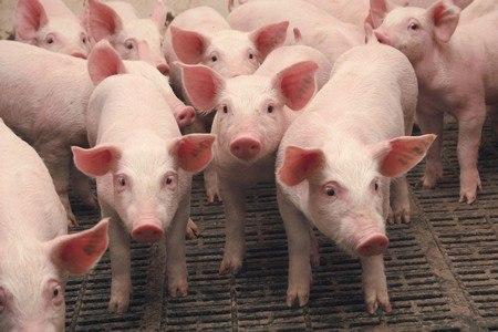 Маленькие свиньи