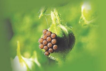 Яйца клопа на растении