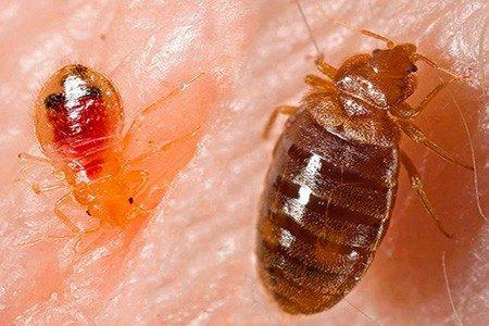 Личинка и взрослый клоп на коже