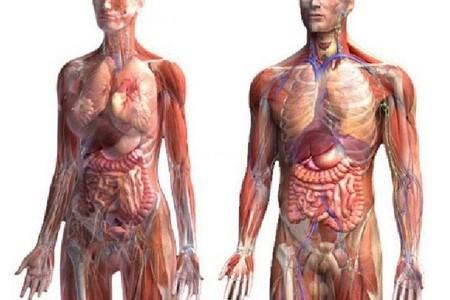 Организм мужского и женского тела