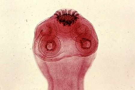 Голова гельминта