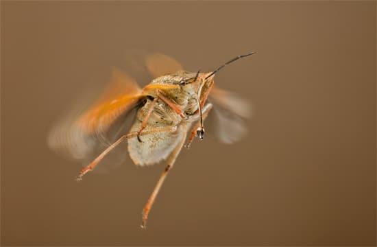 Летающий клоп
