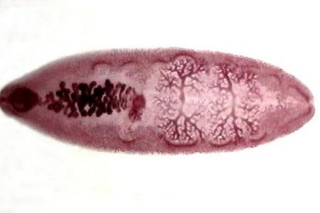 Плоский червь