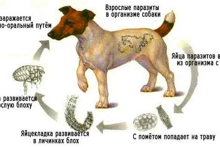собака с паразитами