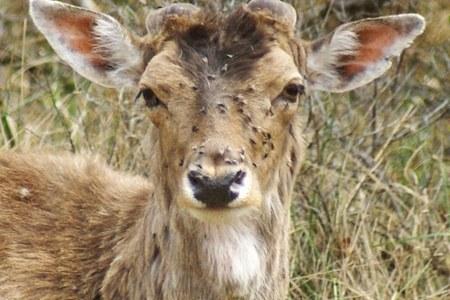 Лосиные вши: фото, опасность для человека и как защититься