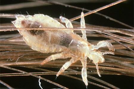 Фото взрослого паразита