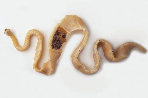 какие паразиты водятся в организме человека