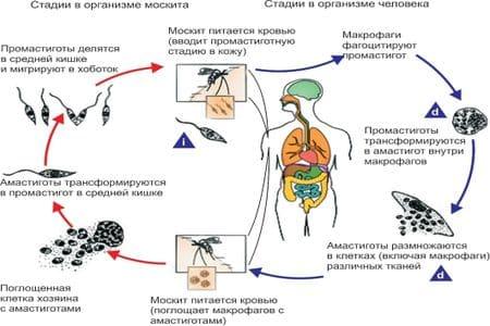 Лейшмания (Leishmania): жизненный цикл, строение на фото и виды