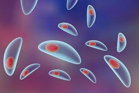 токсоплазмы под микроскопом