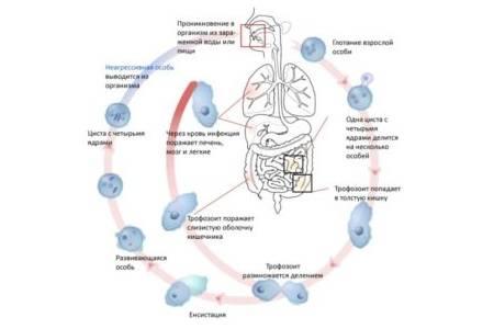 жизненный цикл амёбы