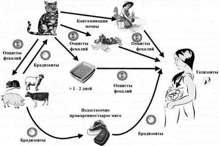 морфология токсоплазмы