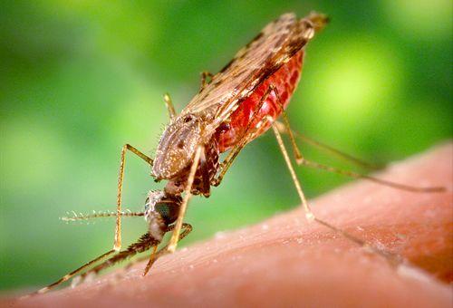 Диагностика малярии: анализ крови и другие методы исследования